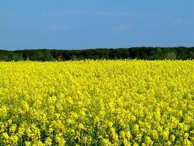 fiori-campo-gialli-MammaMoglieDonna