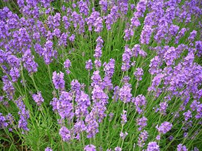 fiori-campo-lilla-MammaMoglieDonna