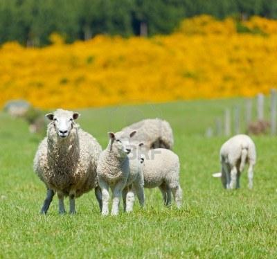 pecore-MammaMoglieDonna